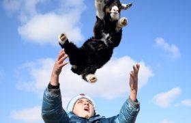 شاتهایی ناب از گله گوسفندان در مرند